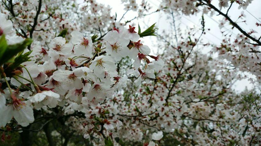 2015-4-4 Hello World Hanami Charry Sakura Trees Flowers Nature Emotional Culture Of Japan Railway Station Osaka Japan Ultimate Japan