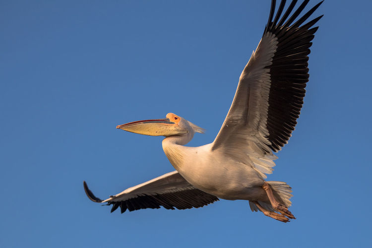 Animal Themes Animal Wildlife Animals In The Wild Beauty In Nature Bird Clear Sky Flying Low Angle View One Animal Pelican Pelican Birds Spread Wings