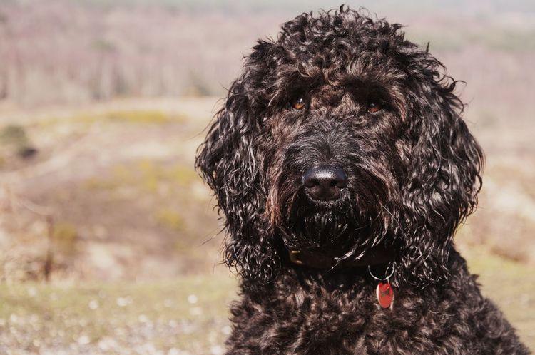 Oscar the Labradoodle Black Dog Dog Labradoodle Pet
