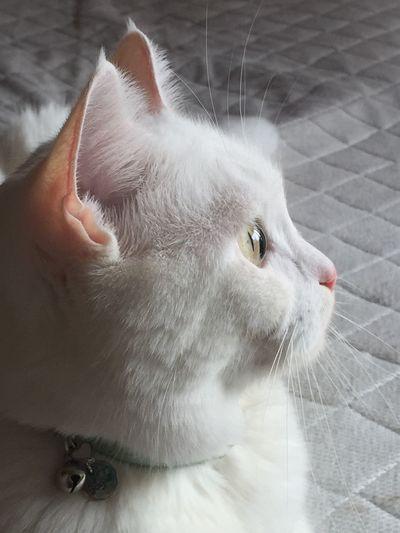 スコテッシュフォールド Pets Cat Close-up Looking Away Domestic Animals One Animal Looking White Color Indoors  Domestic Cat