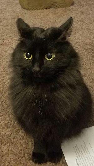 cats Black Manx Cat Attitude