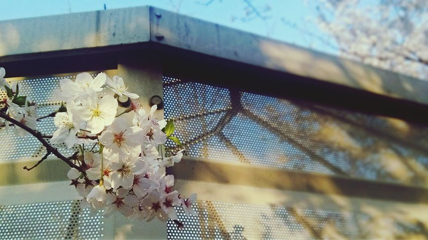 Cherry Blossoms Cherry Tree Flower Sacura Spring Flowers