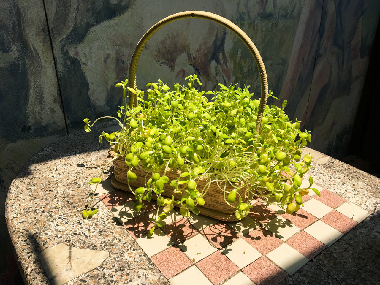 plant, nature, sunlight, growth, no people, green color, day, freshness, outdoors, potted plant, shadow, food and drink, food, close-up, vegetable, leaf, wellbeing, plant part, container, high angle view, tiled floor