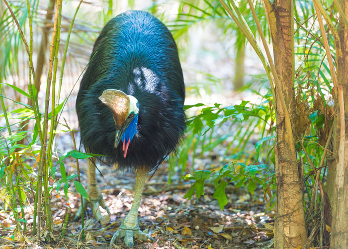 Portrait of Cassowary bird, native to the tropical forests of New Guinea and northeastern Australia. Australian Cassowary Casuarius Casuarius Native Bird Of Australia Nature Animal Animals In The Wild Beak Bird Blue Colorful Forest Native Animals Nature No People One Animal Outdoors Rainforest Tropical Wildlife