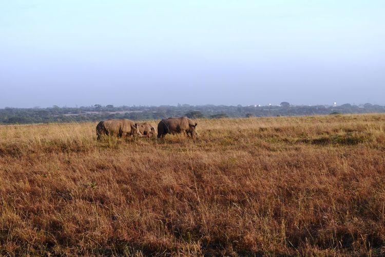 Rhino at Nairobi National Park Travel Sky Grass Tourism East Africa Nairobi Kenya Safari Animals Grass Sky Landscape Rhinoceros Safari Wildlife Reserve