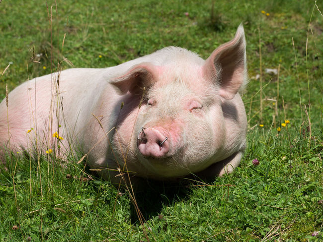 Pig Ears Sun Bath Sus Scrofa Sus Scrofa Domesticus Animal Animal Theme Animal Themes Bristles Close Up Day Domestic Animals Grass Livestock Mammal Meadow Nature No People Omnivore One Animal Pig Pig Bristles Pig Snout Plant Sunny Day Vertebrate