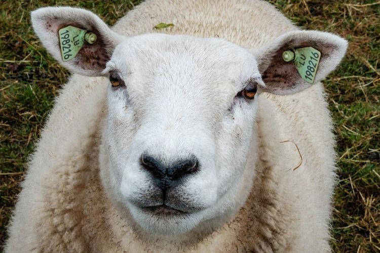 Fujifilm Fujifilm_xseries FUJIFILM X-T2 Mammal Animal Animal Themes Livestock Domestic Animals Domestic Pets Day No People Nature Sheep Herbivorous Wool Woolly