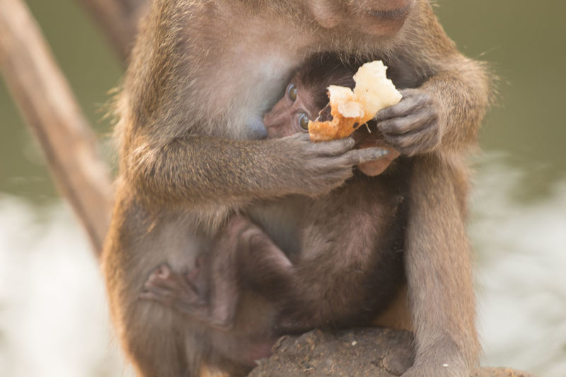 Close-up of long-tailed macaque holding food while feeding infant at zoo