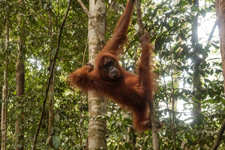 Tree Animal Themes One Animal Animals In The Wild Wild Wildlife Nature Animal Wildlife Low Angle View Tree Trunk Orangutan No People Growth Canon INDONESIA Jungle Travel Destinations Trip Backpacker