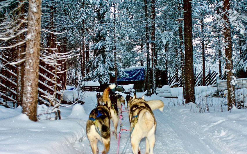 Husky Sleight Ride - Santa Claus Village, Rovaniemi (Lapland). Lapland Sleigh Adventure Animal Themes Beauty In Nature Cold Temperature Forest Husky Nature No People Outdoors Ride Rovaniemi Safari Safari Animals Sled Dog Snow Winter