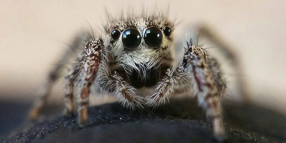 Attack Of The Macro Collection! Insect Paparazzi Macro Photography Spider Portrait Spiderland Macro Spider Arachnophobia Spiderworld Macro Addict EyeEm Macro Macro_collection Spiderama Spider Eyes