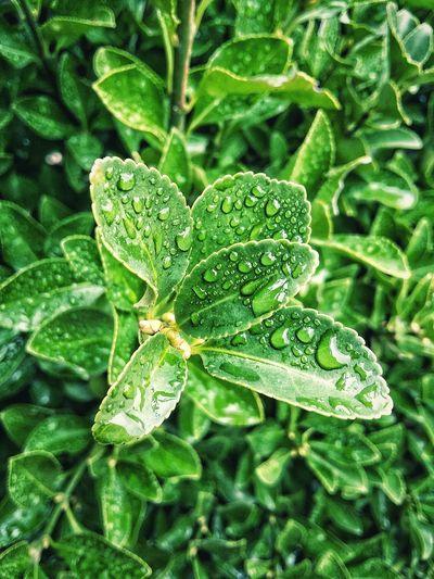 Leaf Close-up Plant Green Color Leaves Droplet Dew RainDrop Rain Rainy Season Water Drop