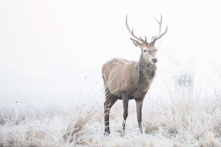 Adapted To The City Animal Themes Animal Wildlife Animals In The City Antlers Day Deer Deers Fog Foggy Morning Frost Large Group Of Animals Magnificent Mammals Mist Nature No People Outdoors Richmond Park, London Winter Winter Morning Stag