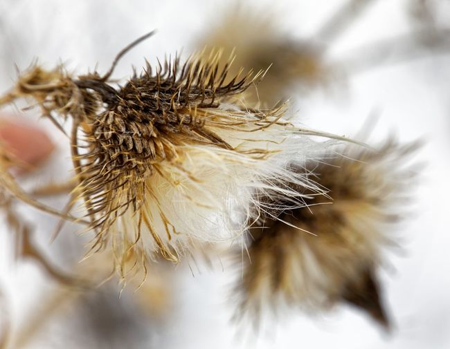 Winter flowers EyeEm Selects Flower Insect Close-up Dandelion Thistle Spiked Spiky Wildflower Uncultivated Wilted Plant Flower Head