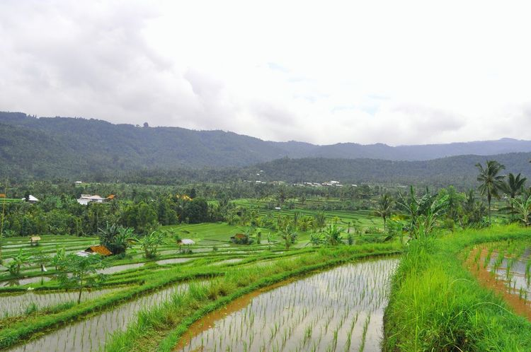 Endless rice fields in Indonesia, Rice Field Rice Paddy Ricefield Rice Terraces Rice Fields  Bali Nature At Its Best Rice Natural Ingredients INDONESIA Eating Ingredients Nature Food Food Art Bali, Indonesia Ingredients Indonesian Culture Relaxing Moments Travel Travel Destinations Traveling Amazing Destination Nature Photography Natural Beauty Natural Pattern