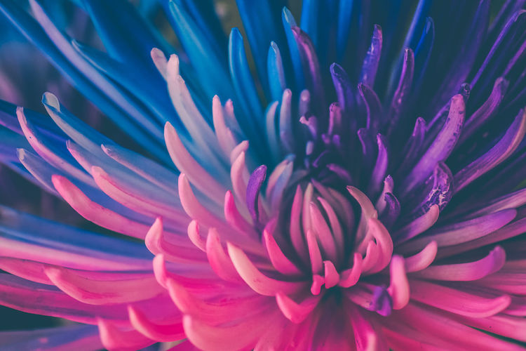Backgrounds Beauty In Nature Bloom Cut Flowers Extreme Close-up Flower Flower Head Fragility Freshness Full Frame Growth In Bloom Macro Macro Photography Mum Nature Ontario, Canada Petal Pink Color Showcase September Single Flower Softness Spider Mum The Week On EyeEm Vibrant Color Maximum Closeness