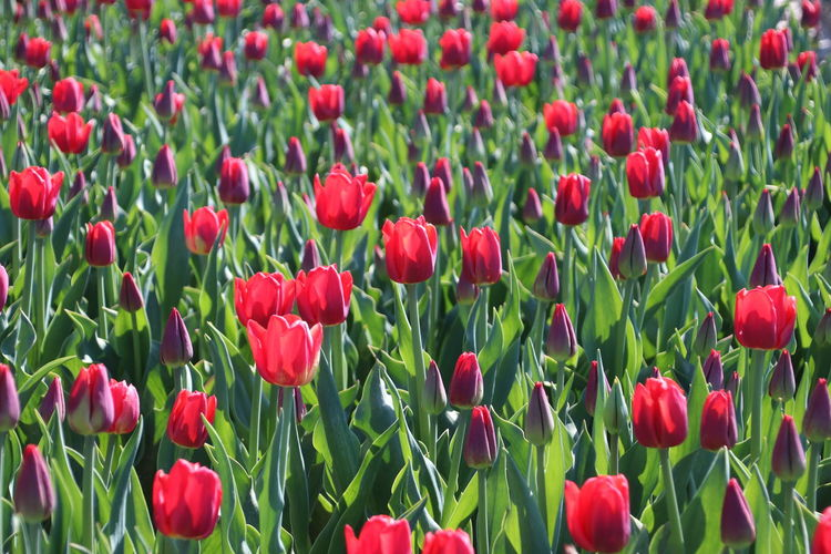 Tulip flower fields illuminated by the sunlight in the polder of Goeree Overflakkee in the Netherlands Flower Field The Netherlands Tulips Tulip Red Beauty In Nature Flower Flowering Plant Freshness Growth Nature No People Plant Red Flower Red Flowers In The Field Sun Illumination Tulip