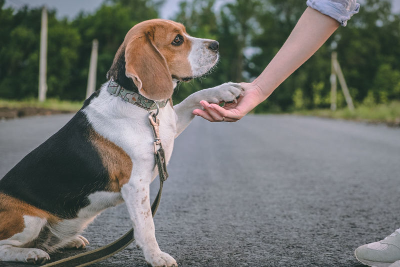 Beagle dog learns to give paw to mistress. walk with the pet. dog paw in human hands