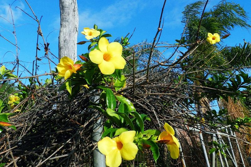 Australia Australia & Travel Australian Flower Australian Nature Beauty In Nature Branch Close-up Day Flower Flower Head Fragility Freshness Growth Leaf Low Angle View Nature Nest Nest And Flowers No People Outdoors Plant Sky Tree Yellow