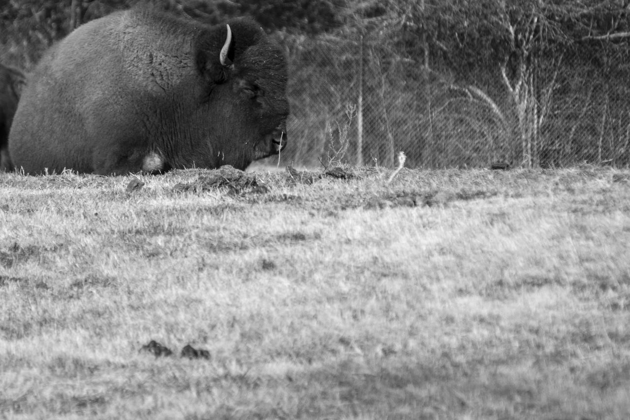 American Bison Relaxing On Field
