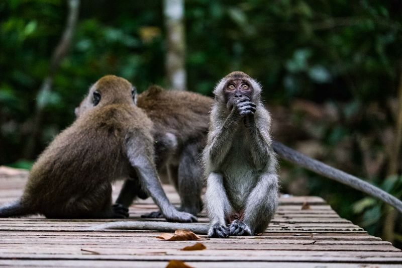 Macaques sitting on boardwalk