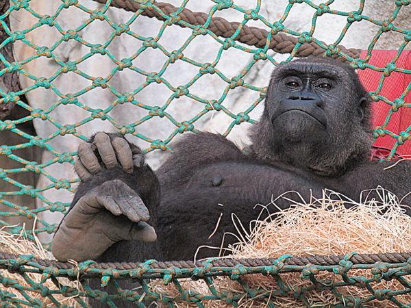 Comfort Gemütlichkeit Gorilla-Weibchen Monkey Rostock 2017 What A Luxury