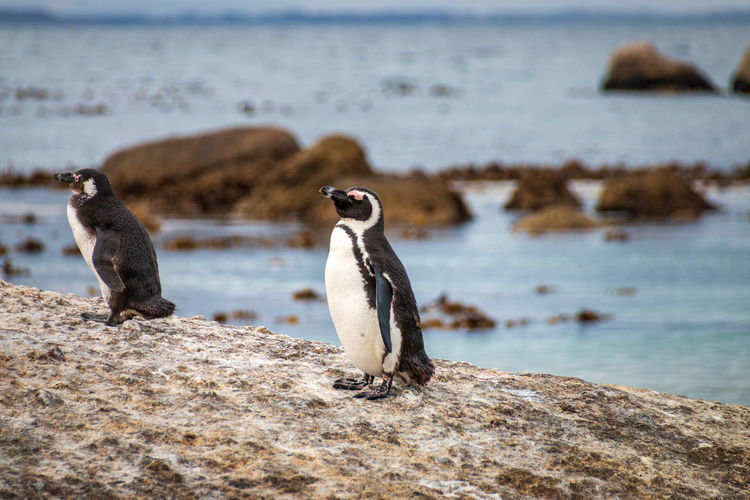 African penguin also known as jackass penguin at boulders beach colony in cape town, south africa