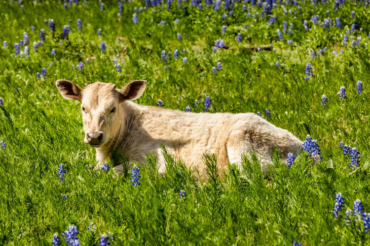 Calfs in Texas on a meadow with blue bonnets Calf Calfs Blue Bonnets Blue Bonnet Flowers Spring Springtime Texas Texas Hill Country Hill Country Livestock Cattle Cold Temperature Cows Rural Scene Meadow Lush Green Mammal Plant Animal Animal Themes One Animal Flower Flowering Plant Domestic Animals Grass Nature Domestic Land Field Pets Day No People Green Color Wildflower Outdoors Herbivorous