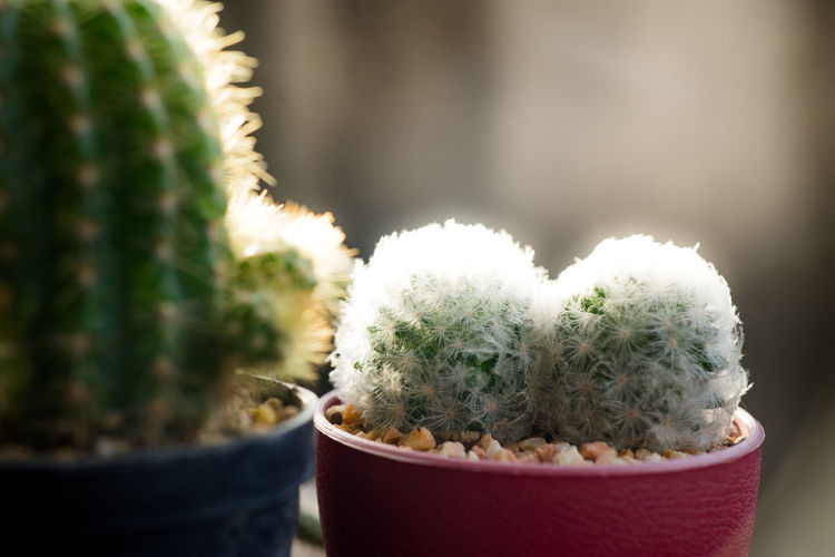 Many cactus pots are set on wooden boards. Potted Plant Cactus Plant Succulent Plant Green Color Thorn No People Close-up Growth Container Nature Day Beauty In Nature Spiked Selective Focus Focus On Foreground Outdoors Decoration Sharp Barrel Cactus