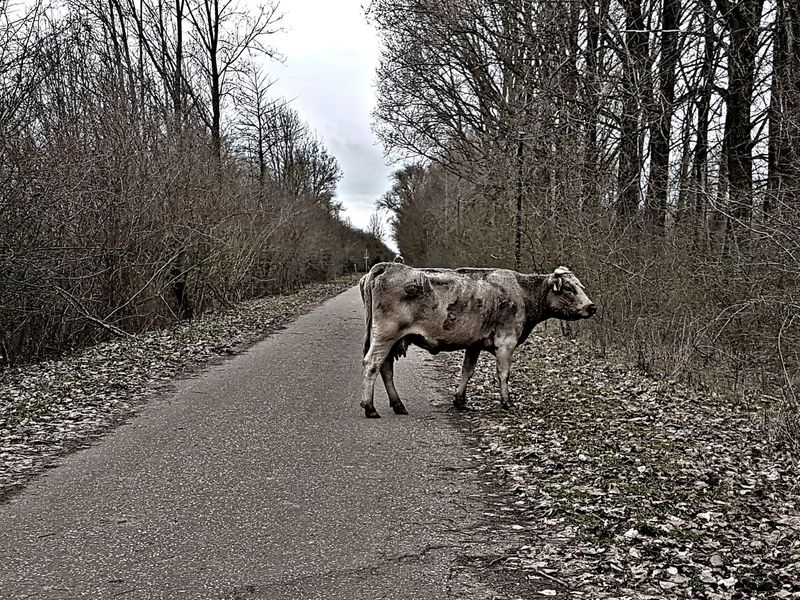 Cow In Middle Of Road Cow Bovine Middle Of Road Middle Of Nowhere