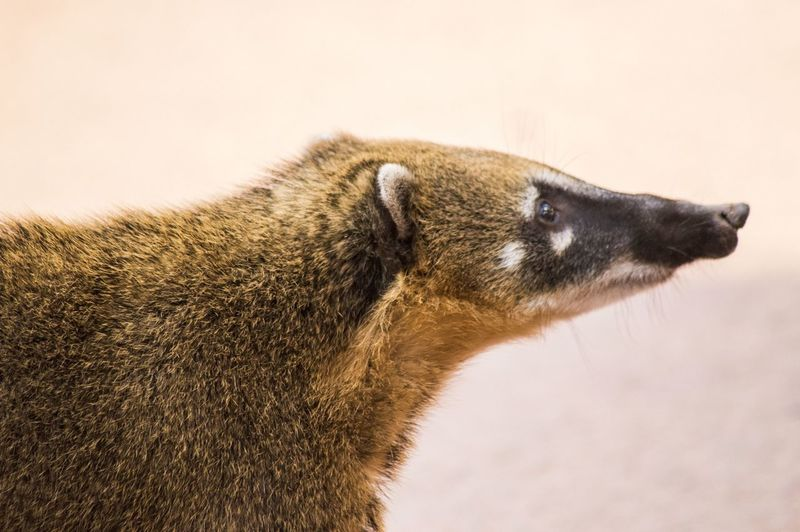 Close-up of coati