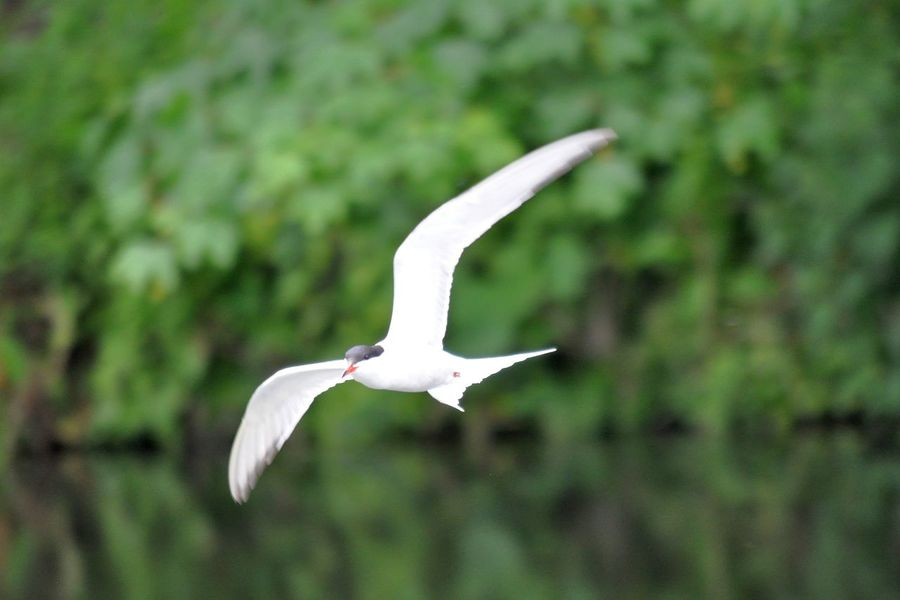Tern Bird Bird Photography Flight Flying Freedom High Nature Tern White Bird Wings