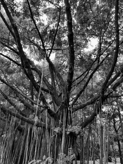 Black And White Black And White Photography Black And White Tree Black And White Tree Trunk Tree Photography Tree View Low Angle View Banyan Banyan Tree Banyan Root Banyan Tree Roots Banyan Tree Trunk Beauty Of Nature Tree In The Park The Park Big Tree Big Truck Nature Photography Tree In Nature Tree Tree Trunk
