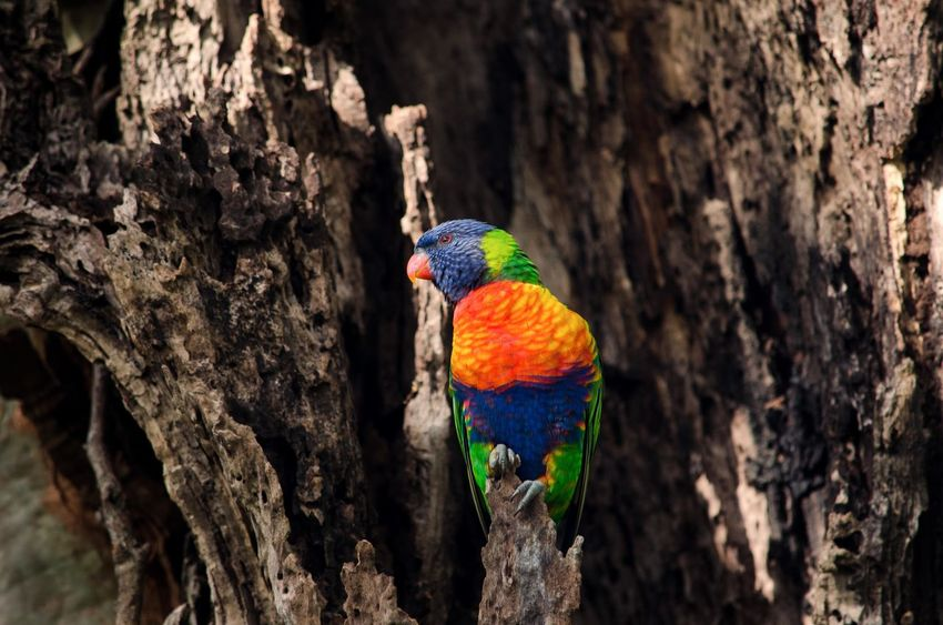 Rainbow Australia Bird Photography Wildlife Photography Beauty In Nature Colorful Rainbowlorikeet Wildlife