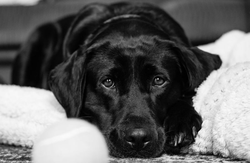 Dog Pets Mammal Domestic Animals Looking At Camera Animal Themes One Animal Indoors  Portrait Black Color No People Lying Down Bed Close-up Relaxation Day Labrador Retriever