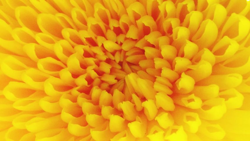 Flower Head Flower Yellow Full Frame Marigold Petal Backgrounds Close-up