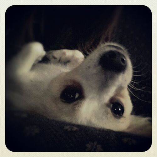 My cutie munchkin Puppy TooCute Lovehim Sleepy Heknowshescute Manofthehouse