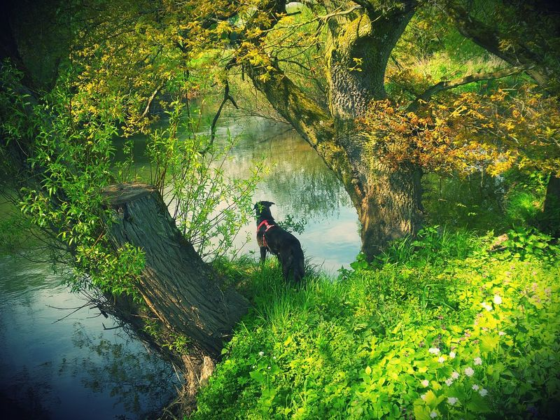 So Kitschy That I Like It Somehow Big Dog On The River Bank  Watching The Water Water Reflections All Shades Of Green Old Tree Stumps Decked With Sprigs In Fresh Green Sunny Day Riverscape Blue Water Blue Sky Kinzig River My Favorite Photo The Great Outdoors With Adobe Germany🇩🇪 Beliebte Fotos