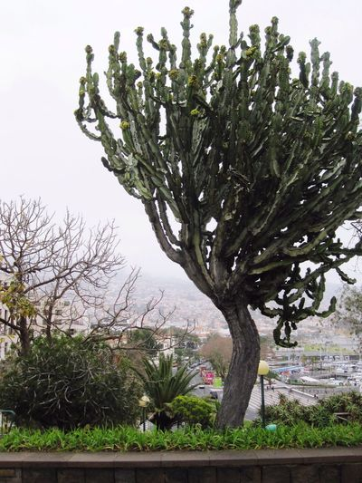 Funchal Funchal Madeira Succulent Plant Succulent Plants Tree Trees Tree_collection  Landscape Landscape_Collection