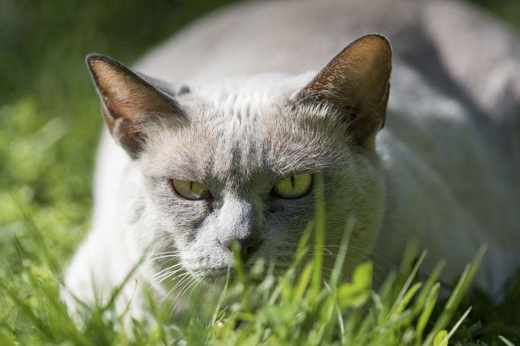 Close-up portrait of cat on grassy field