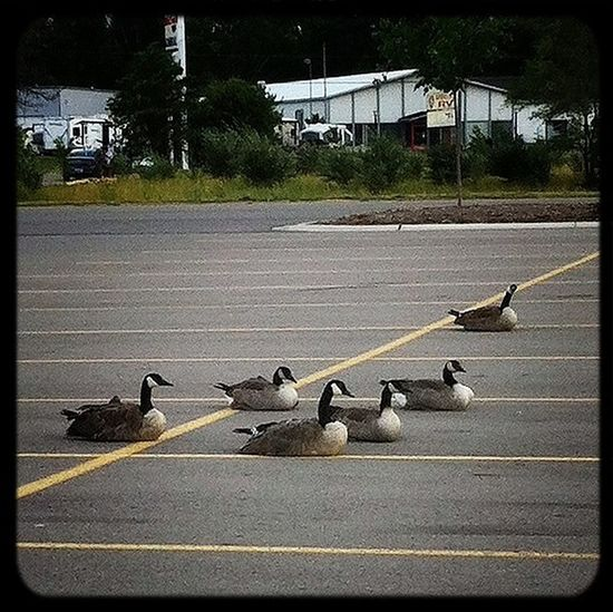 GEESE!!!
