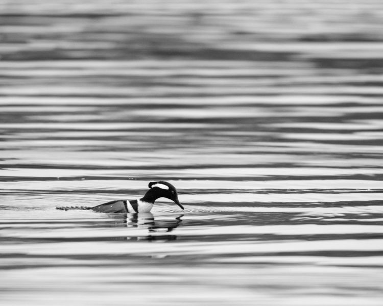 Bird Photography Black & White Diving Water Reflections Wildlife & Nature Animal Themes Animal Wildlife Animals In The Wild Bird Birds Black And White Day Hooded Merganser Merganser Motion Nature One Animal Outdoors Rippled Sea Side View Swimming Water Waterfront Wildlife