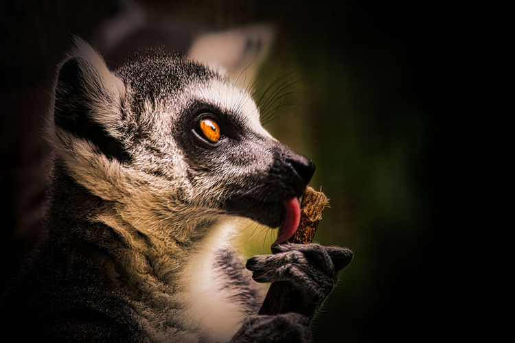 Close-up of lemur licking wood