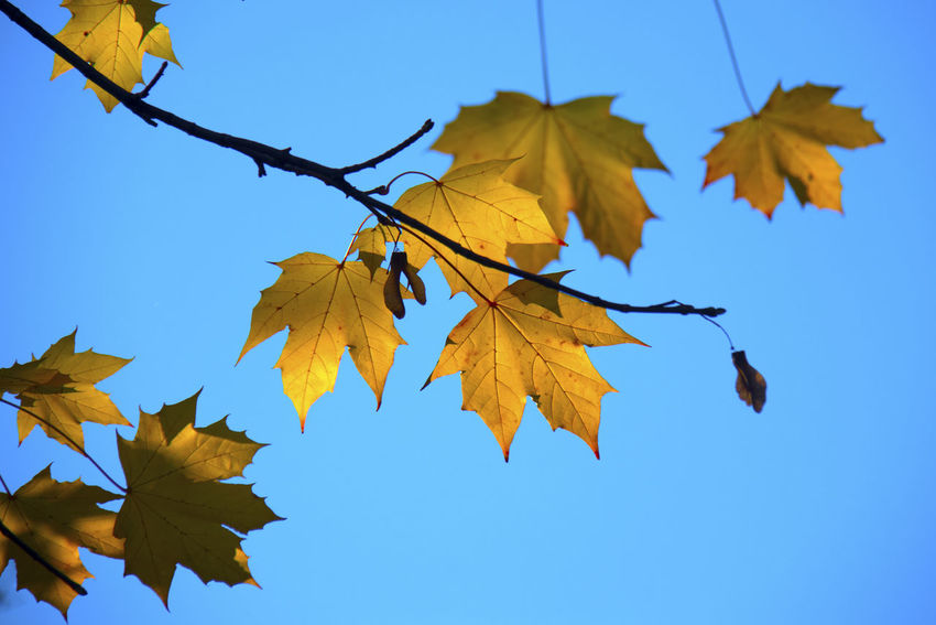 Plant Part Leaf Autumn Change Low Angle View Yellow Sky No People Nature Clear Sky Plant Beauty In Nature Day Blue Close-up Leaves Tree Branch Maple Leaf Growth Outdoors Maple Tree Natural Condition Autumn Collection