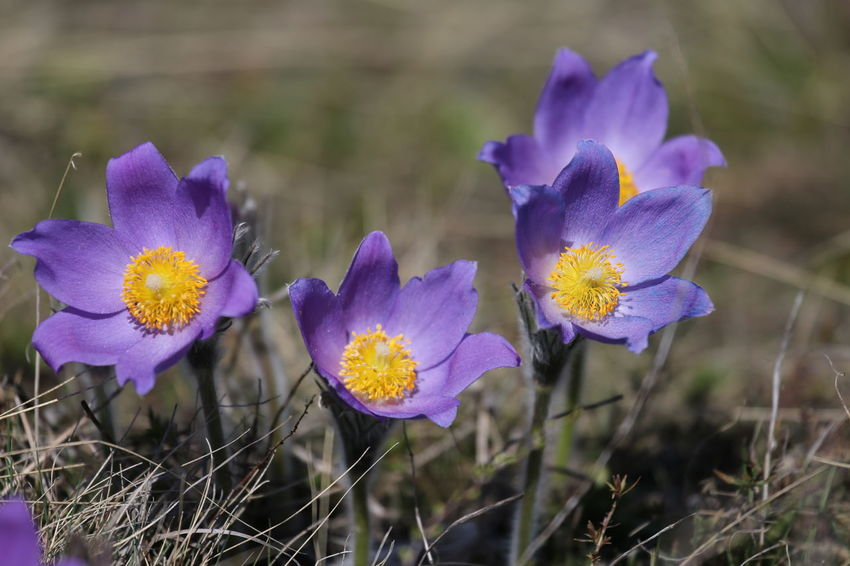 Beauty In Nature Blooming Close-up Crocus Day Field Flower Flower Head Fragility Freshness Growth Nature No People Outdoors Petal Plant Purple Yellow