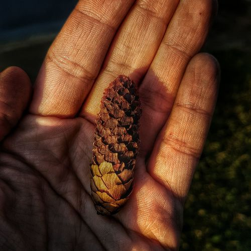 Cropped hand of person holding pine cone