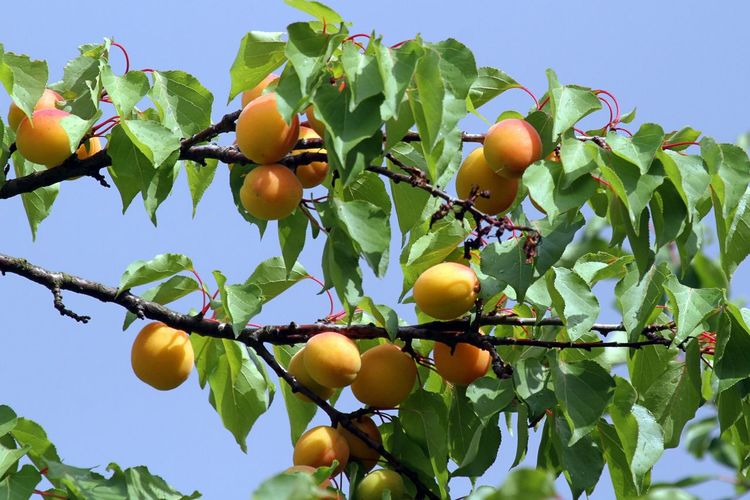 Agriculture Apricot Tree Apricots Beauty In Nature Branch Clear Sky Close-up Day Food Food And Drink Freshness Fruit Growth Hanging Healthy Eating Leaf Low Angle View No People Outdoors Ripe Sky Tree