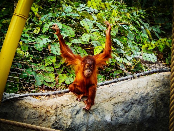 Ape Oranutan One Animal Animal Themes Tree Mammal Animals In The Wild Domestic Animals No People Plant Day Growth Outdoors Nature Antler Close-up APS-C EyeEm New Here Focus On Foreground Backgrounds Nikon D3200 EyeEm Gallery Beauty In Nature