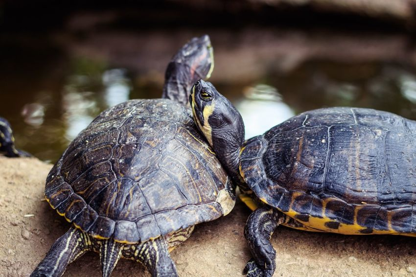 Resting turtle Turtle Animal Themes Animal Animal Wildlife Animals In The Wild Reptile Group Of Animals Shell Vertebrate Animal Shell Focus On Foreground Close-up Tortoise No People Two Animals Nature Day Water Amphibian Marine