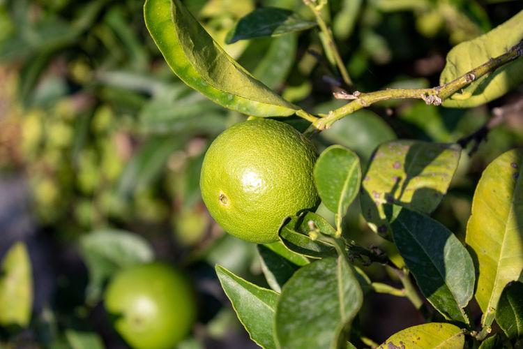 Green lemons in their tree